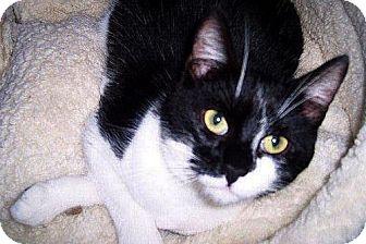 Domestic Shorthair Cat for adoption in Redding, California - Utah