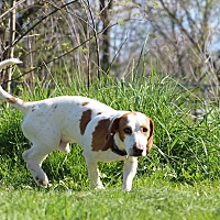 Beagle/Basset Hound Mix Dog for adoption in Pleasant Plain, Ohio - Charlie
