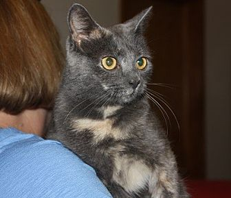 Domestic Shorthair Cat for adoption in Windham, New Hampshire - Tink