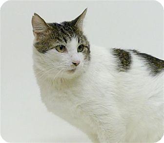 Domestic Shorthair Cat for adoption in Sedona, Arizona - Mr. Gatsby
