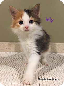 Domestic Mediumhair Kitten for adoption in Huntsville, Ontario - Lily - Adopted November 2016
