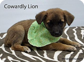 Shepherd (Unknown Type)/Labrador Retriever Mix Puppy for adoption in Waterbury, Connecticut - Cowardly Lion
