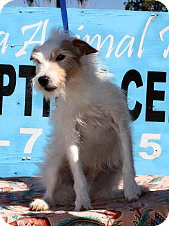 Jack Russell Terrier Mix Dog for adoption in Tempe, Arizona - Eddie