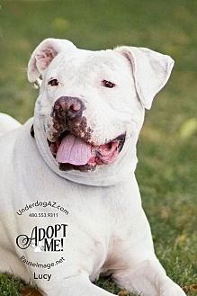 American Bulldog Mix Dog for adoption in Chandler, Arizona - LUCY
