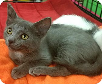 Russian Blue Kitten for adoption in Germantown, Tennessee - Sansa