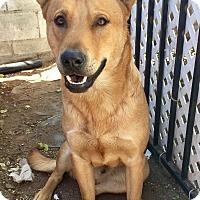 German Shepherd Dog/Labrador Retriever Mix Dog for adoption in Santa Ana, California - Cash