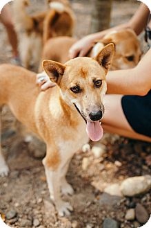Shiba Inu/Shepherd (Unknown Type) Mix Dog for adoption in Denver, Colorado - Reiki
