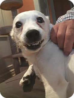 Chihuahua/Terrier (Unknown Type, Medium) Mix Dog for adoption in Seattle, Washington - Precious