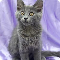 Domestic Mediumhair Kitten for adoption in Chattanooga, Tennessee - Molly Weasley