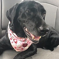 Labrador Retriever Mix Dog for adoption in New Canaan, Connecticut - Hallie - Courtesy Posting