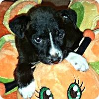 Adopt A Pet :: Tassie - Boulder, CO