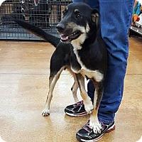 Adopt A Pet :: Blake - Arlington, TX