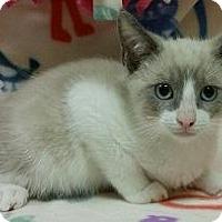 Siamese Kitten for adoption in Parlier, California - Collins