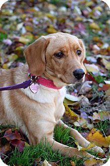 Cocker Spaniel/Labrador Retriever Mix Dog for adoption in Fenton, Missouri - Faythe