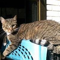 Domestic Shorthair Cat for adoption in St. Louis, Missouri - Mickey
