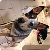 Adopt A Pet :: ACD Drover - Remus, MI