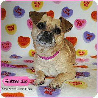 Pug/Chihuahua Mix Dog for adoption in Yucaipa, California - Buttercup