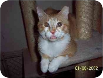 Domestic Shorthair Cat for adoption in Indianapolis, Indiana - Abram