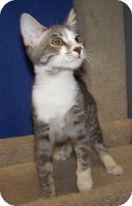 Domestic Shorthair Cat for adoption in Colorado Springs, Colorado - K-Hart9-Darwina
