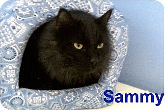 Domestic Longhair Cat for adoption in Medway, Massachusetts - Sammy
