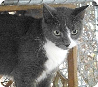 Domestic Shorthair Cat for adoption in Wanaque, New Jersey - grayson