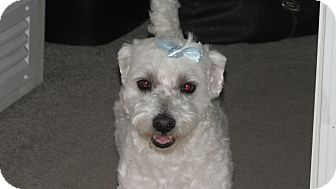 Maltese/Poodle (Miniature) Mix Dog for adoption in Franklin, Virginia - Joey