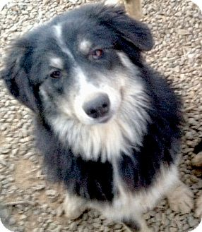 Australian Shepherd/Alaskan Malamute Mix Dog for adoption in Sacramento, California - Mikey fluff, big boy