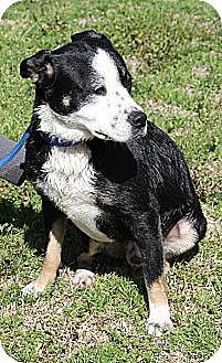 Border Collie/Labrador Retriever Mix Dog for adoption in Sylvania, Georgia - Trip