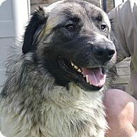Adopt A Pet :: Lobo - white settlment, TX