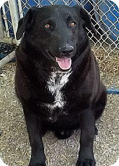 Labrador Retriever Mix Dog for adoption in Savannah, Missouri - Chase