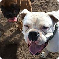 Adopt A Pet :: Bart - Reno, NV