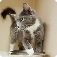 Adopt A Pet :: Miss Gray - Lincolnton, NC