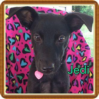 Labrador Retriever Mix Puppy for adoption in Cranford, New Jersey - Jedi