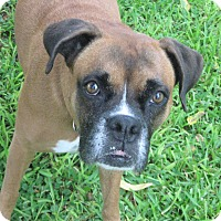Boxer Mix Dog for adoption in Austin, Texas - Kahlua