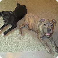 Adopt A Pet :: Duchess - Durham, NC