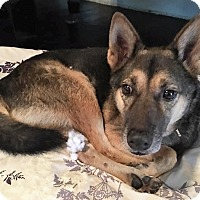 Shepherd (Unknown Type) Mix Dog for adoption in Bruce Township, Michigan - Patty