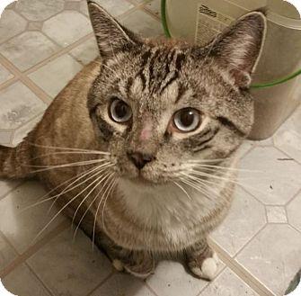 Siamese Cat for adoption in Sharon Center, Ohio - Cody