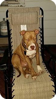 Pit Bull Terrier Dog for adoption in East Brunswick, New Jersey - Odie