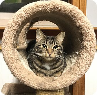 Domestic Shorthair Cat for adoption in Lombard, Illinois - Tampa