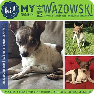 Chihuahua/Jack Russell Terrier Mix Dog for adoption in New Port Richey, Florida - Mike Wazowski