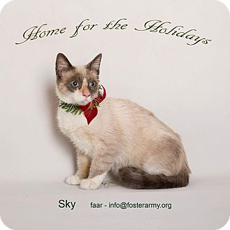 Siamese Kitten for adoption in Riverside, California - Sky