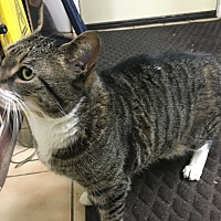 Domestic Shorthair Cat for adoption in Saylorsburg, Pennsylvania - Bizzy