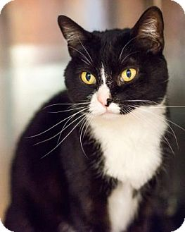 Domestic Shorthair Cat for adoption in Palm Springs, California - Penguin
