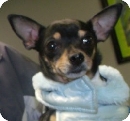 Chihuahua Mix Dog for adoption in Muskegon, Michigan - Tasha