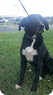Border Collie/Labrador Retriever Mix Dog for adoption in Albemarle, North Carolina - Duke