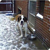 St. Bernard Dog for adoption in Detroit, Michigan - Phoebe