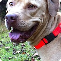 Adopt A Pet :: Bentley - Manchester, NH