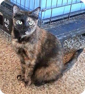 Domestic Shorthair Cat for adoption in Redding, California - Nissa
