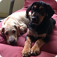 Adopt A Pet :: Tony - Brattleboro, VT