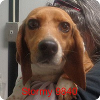 Adopt A Pet :: Stormy - baltimore, MD